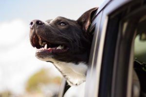 A happy dog transferring to his new home