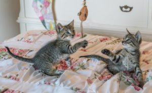 Two kittens playing with toys