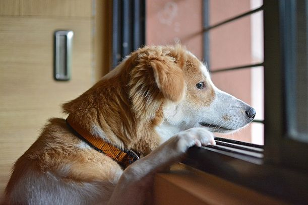 A dog looking out the windows