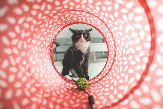 A cat with a toy tunnel
