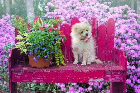 A cute Pomeranian sitting on a bench