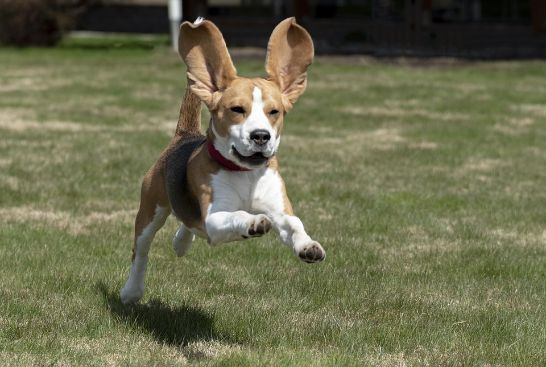 A dog running in a yard