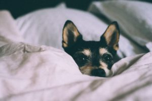 Dog resting on the bed