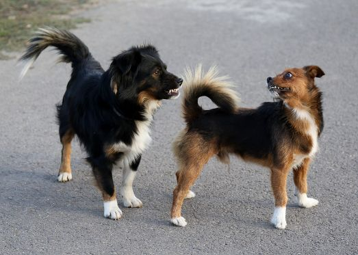 Two dogs showing aggression at each other