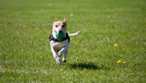 A dog running in the yard
