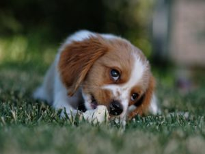 A bored dog nibbling on grass