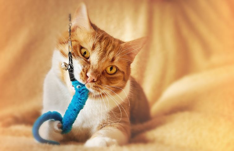 A cat biting her toy