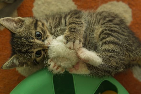 A cat playing with a furry ball