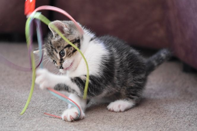 A cat playing with a toy
