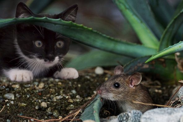 A cat stalking a mouse