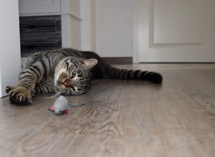 A cat staring her mouse toy