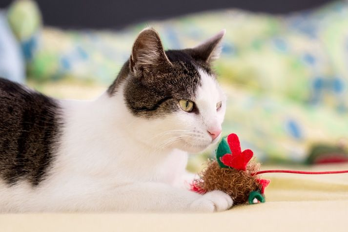 A cat with a woolly toy