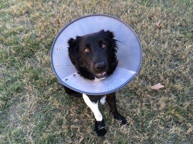 A dog in an Elizabethan cone