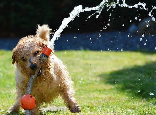 A dog playing with a hose