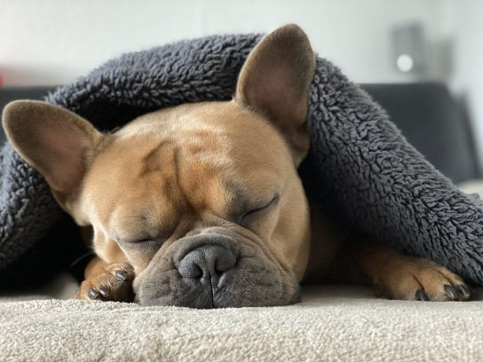 A dog warmed by a blanket