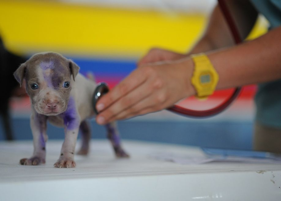 A veterinarian checking a puppy