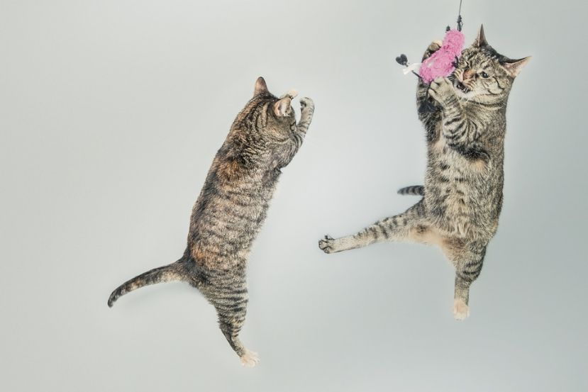 Cats catching her toy