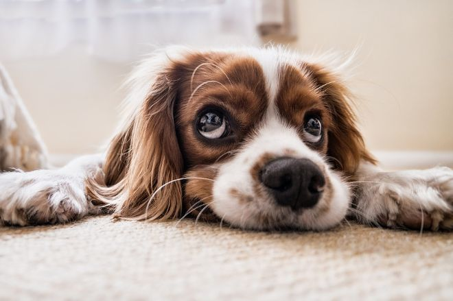 Dog feeling sad on a carpet