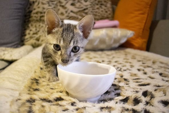A cat using porcelain water bowl