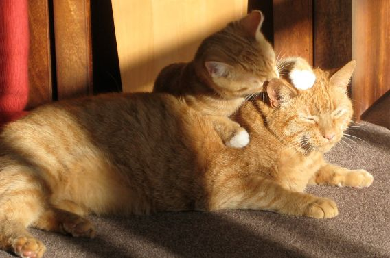 A kitten grooming her mother