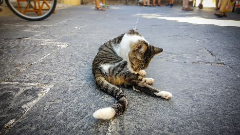 A stray cat grooming itself