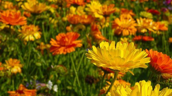 Cape Marigold