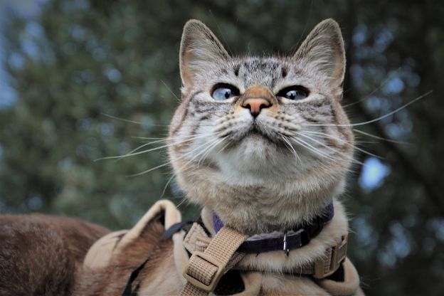 A cat on a harness