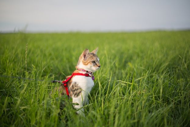 A cat on a harnessed leash