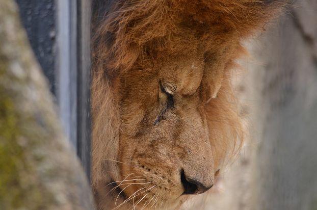 A sick lion