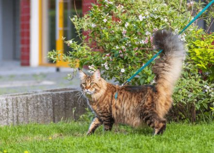 Cat exploring the yard on a leash