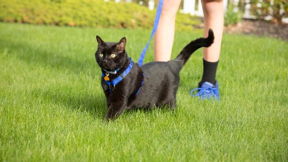 Cat walking with her pet parent
