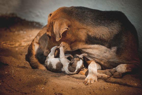 Dog mom licking her puppy