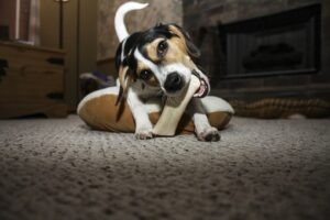 Puppy playing with chew bone
