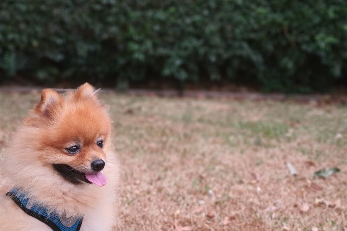 pomeranian on a collar