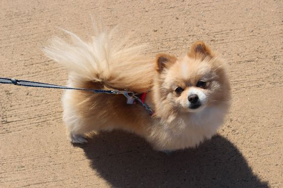 pomeranian taking a walk