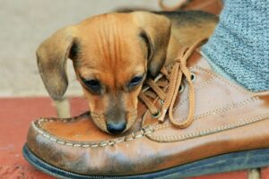 Puppy trying to bite shoe
