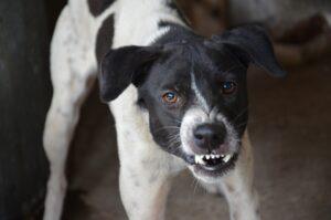 Anticipatory dog