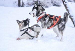 Dogs in winter