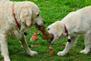 Dogs sharing Toy
