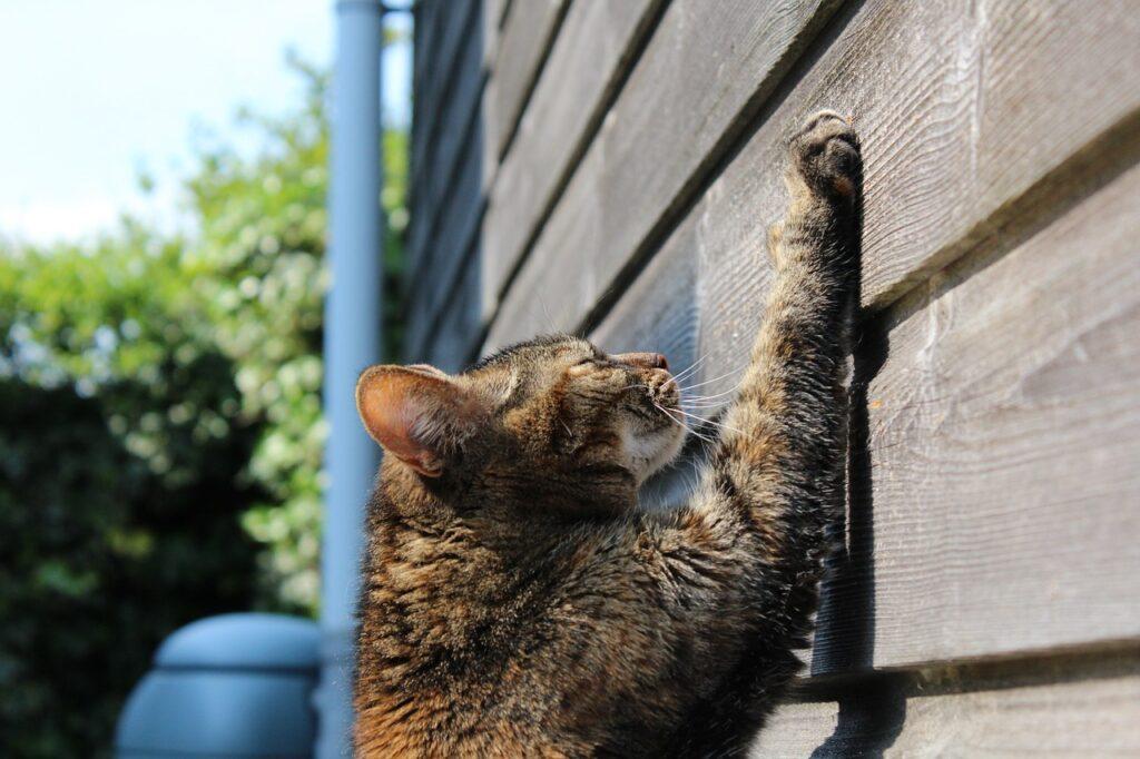 Cat scratching wall