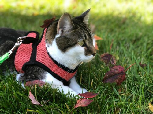 Best Cat leashes and Harnesses