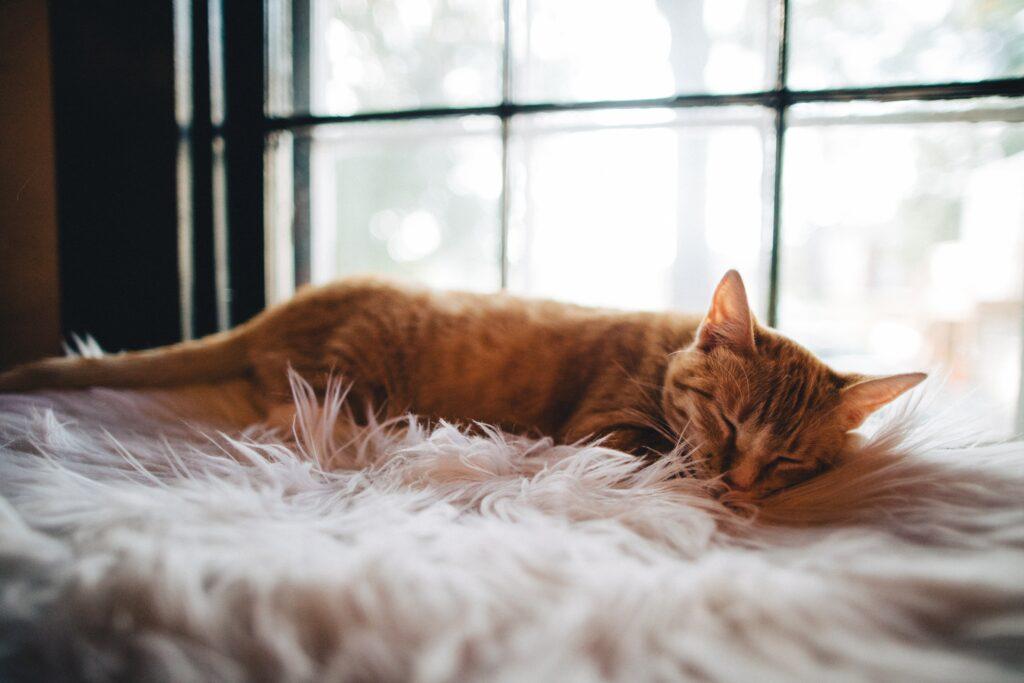 cat on fluffy carpet